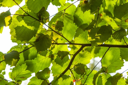 green leaves of hazelnut tree photo