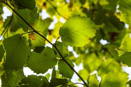 green leaves of hazelnut tree Stock Photo - 17848780