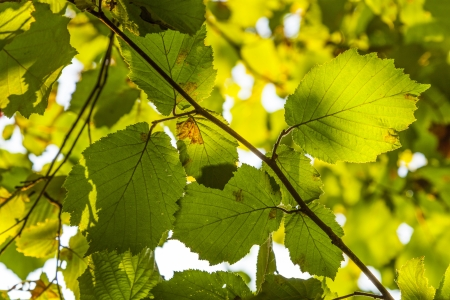 green leaves of hazelnut tree Stock Photo - 17848477