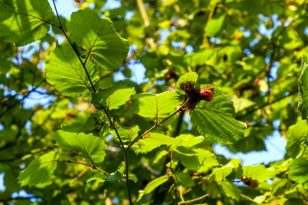 green leaves of hazelnut tree Stock Photo - 17848467