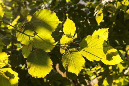 green leaves of hazelnut tree Stock Photo - 17848475