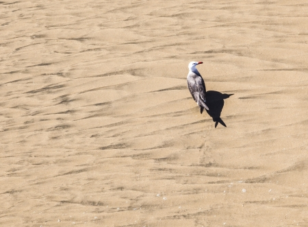 california gull walking at the beach photo