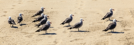 california seagulls at the sandy beach photo