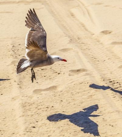 california seagulls at the sandy beach photo