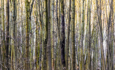 harmonic pattern of trees in forest photo