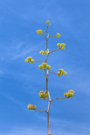 tuscon: blooming desert plant in sonora desert museum in Tuscon, Arizona