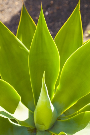 beautiful agave plant in sunlight gives a harmonic pattern Stock Photo - 18862079