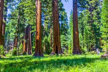 the famous big sequoia trees are standing in Sequoia National Park,village area , big famous Sequoia trees, malamute trees