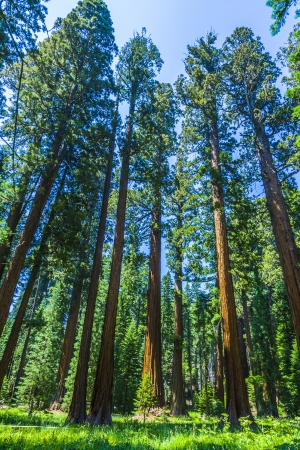 redwood: Sequoia national Park with old huge Sequoia trees like redwoods in beautiful landscape Stock Photo