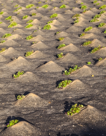 pattern of field with vegetables growing on volcanic earth photo