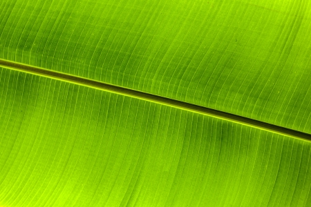 Texture background of backlit green palm leaf photo