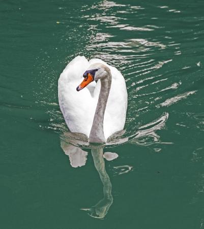 swan swimming in the lake photo