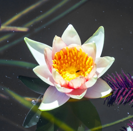 beautiful water lily swims in the lake photo