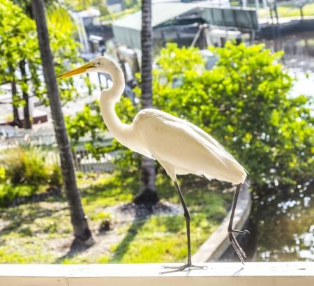 trustful: trustful white heron walking on the balustrade of the veranda
