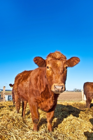 beef cattle: friendly cattle on straw with blue sky Stock Photo