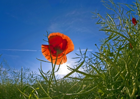 poppy flower in meadow in morning light photo