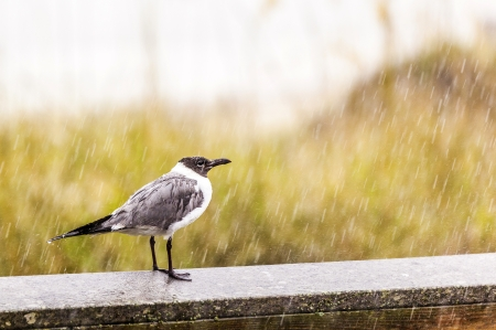 seagull in heavy rain stands on the pier photo