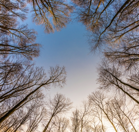 crown of trees with clear blue sky and harmonic branch structure photo