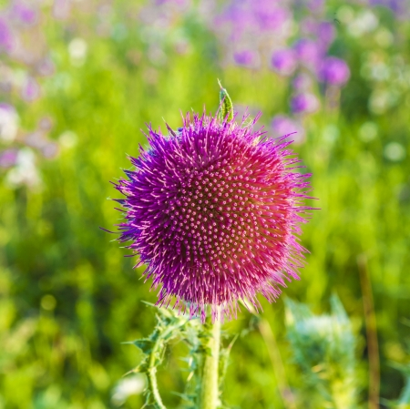 thistle in meadow photo