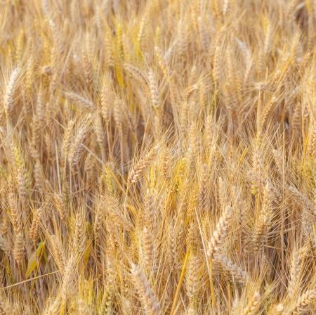 spica: campo de ma�z en espiga de oro con detalles en