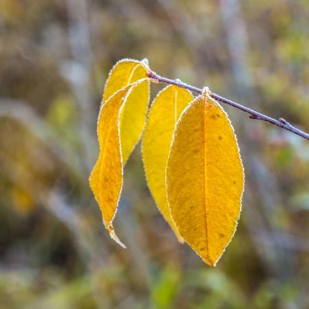 hoar frost: leaves with hoar frost in winter in early morning light