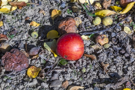windfall apples at the ground photo