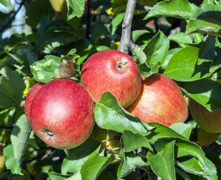 bruised: ripe fruity apples at the tree