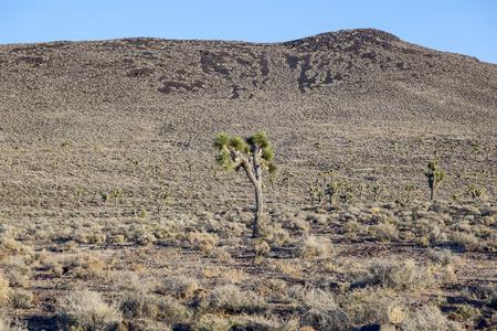 lone pine: plantas de yuca hermosos en la puesta de sol en la zona de desierto de Arizona cerca de Lone Pine