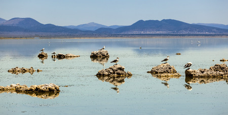 lee vining: california gull flying over the beautiful Mono Lake in California near Lee Vining