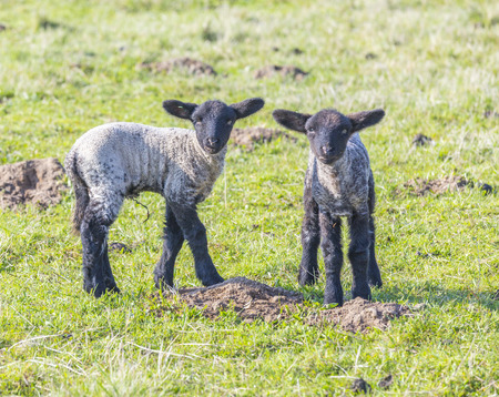 Spring pasture with flock of sheep and lambs photo