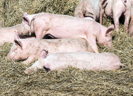 flock of pigs in a bio farm in Usedom photo