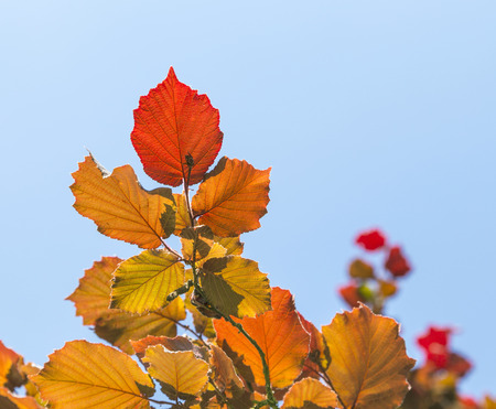 Shallow focus on bright red leaves and clear blue sky photo