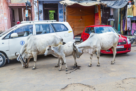 india cow: PUSHKAR, INDIA - OCTOBER 20, 2012: cows strolling around in the city of Pushkar, India.  Most Hindus respect the cow for her gentle nature which represents the main teaching of Hinduism, non-injury (ahimsa).