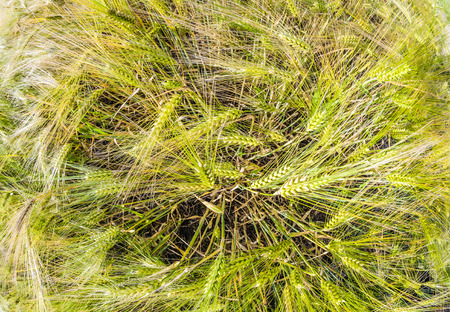 spica: espiga de trigo en el campo de ma�z de oro