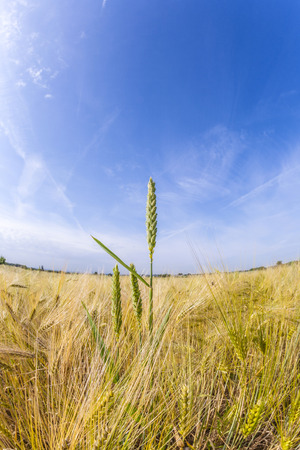 spica: espiga de trigo en el campo de ma�z verde Foto de archivo