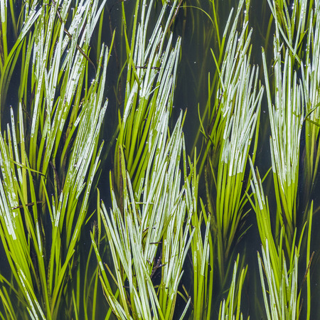 harmonic: green reed in the river gives a harmonic
