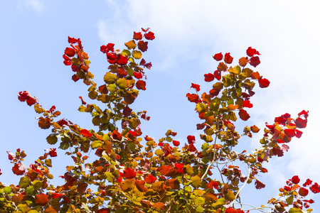 corylus: Shallow focus on bright red leaves and clear blue sky