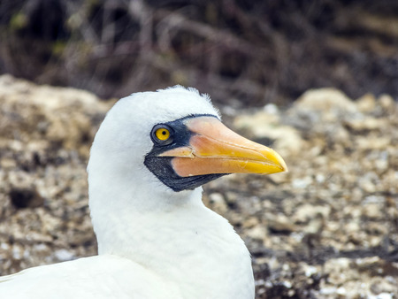 boobie: Close up of  masked Boobie at Galapagos island