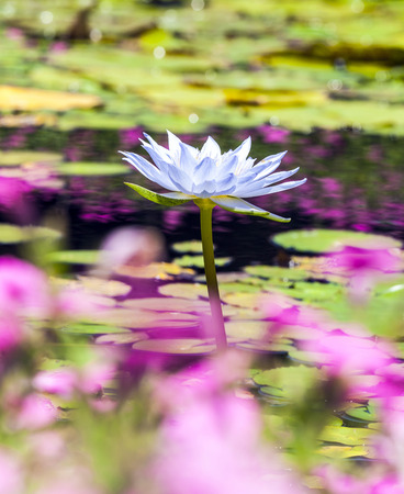 Beautiful Pink Lotus, water plant  in a pond photo