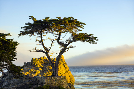 PEPPLE BEACH, USA - JULY 26, 2008: lonely cypress in sunset  in Pebble Beach, USA. Since 250 years this lonely cypress stands on the hill and is nowadays the symbol of the Pebble Beach Company. Редакционное