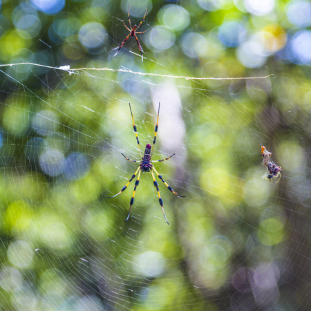 wood spider: Giant wood spider - Nephila maculata  nephila pilipes, the Golden Orb Weaver or Banana Spider