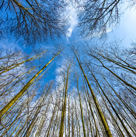 tree crowns in spring without leaves on deep blue sky photo