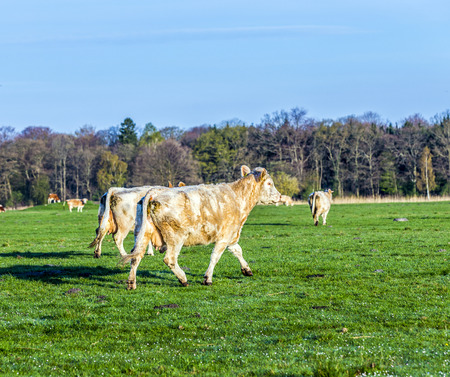 cows at the green fresh meadow in morning light photo