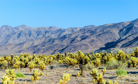 cholla: beautiful Cholla Cactus Garden in Joshua Treer national park in afternoon sun