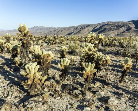 cholla: beautiful Cholla Cactus Garden in Joshua Tree national park in afternoon sun