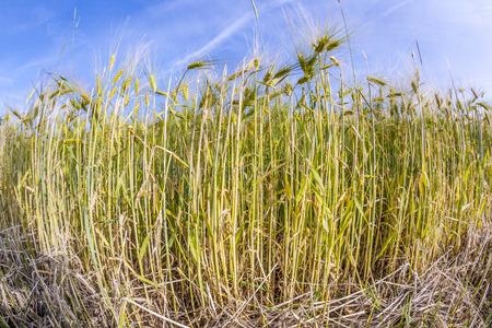 spica: espiga de trigo en campo de ma�z bajo el cielo azul