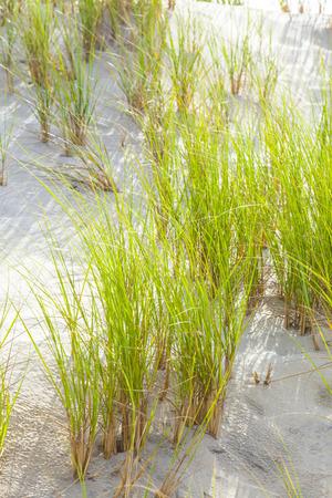 wind blown: Wind blown grass on fine sand dune Stock Photo