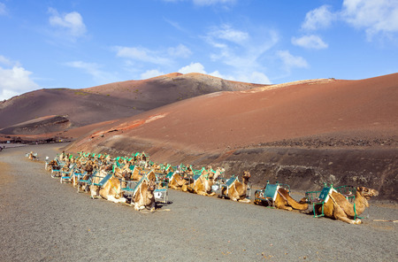 saddle camel: camels at Timanfaya national park wait for tourists for a guided tour