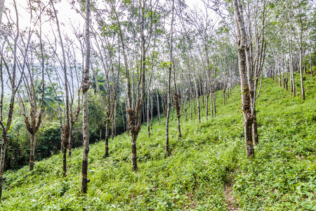 caoutchouc: rubber tree plantation in Thailand, Koh Chang