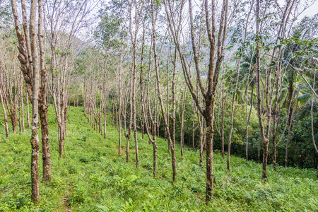 chang: rubber tree plantation in Thailand, Koh Chang